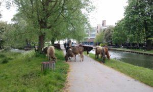 Vacas sueltas junto al río: la típica estampa de Cambridge.